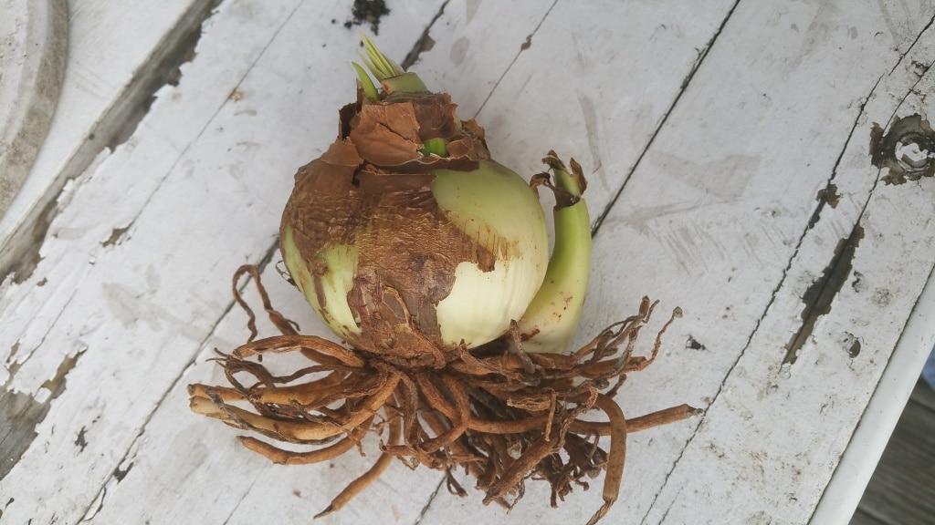 Amaryllis, Weihnachten, Zimmerpflanze, Gartenzeitung.com