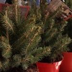 Christbaum, eingetopfter Baum, Topf, Weihnachten, Gartenzeitung.com