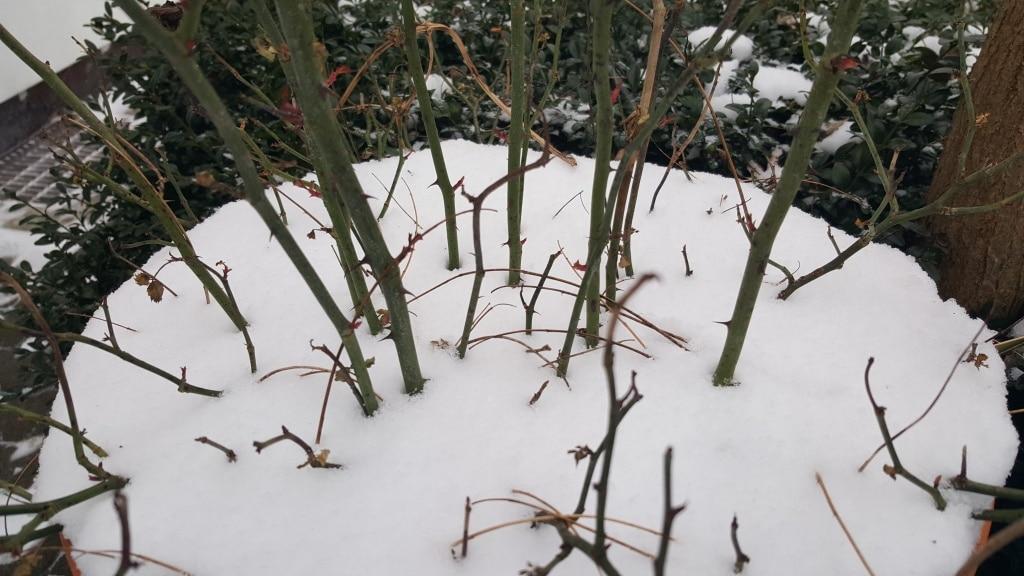 Winter, Schnee, Kübelpflanzen, Frost, Gartenzeitung.com