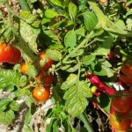 Tomaten, Gartenzeitung.com