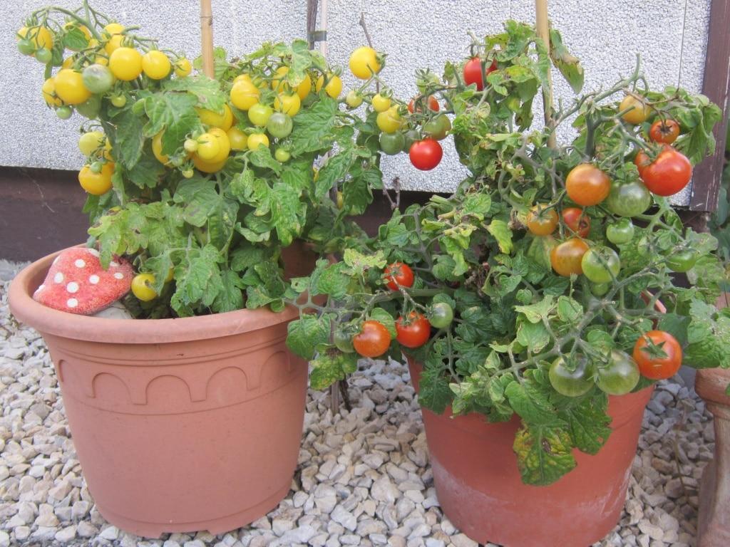 Tomaten im Topf, Naschgarten, Gartenzeitung.com