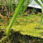 Teich, Gartenteich, Wasser, Algen