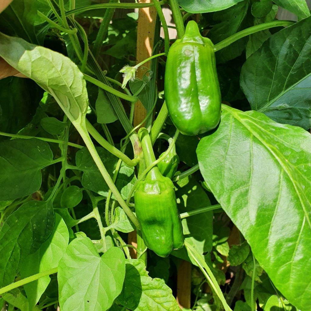 Paprika im Beet